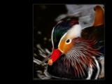 Fried Duck - Mandarin Duck  rework by Hottrockin, Rework gallery