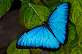 blue morpho by jeenie11, Photography->Butterflies gallery