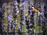 Butterfly and Lavender by LynEve, photography->butterflies gallery