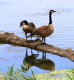 Geese Reflecting by Pistos, photography->birds gallery