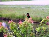 Lake Bird by Dextar_111, photography->birds gallery