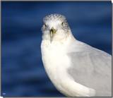 Mr. Jonathan Livingston by tigger3, photography->birds gallery