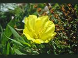 Yellow Chiffon by tielji, Photography->Flowers gallery