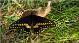 A Pretty Lawn Ornament by tigger3, photography->butterflies gallery