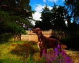 IRISH RED SETTER by LANJOCKEY, photography->animals gallery