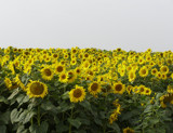 Lincolnshire Sunflowers (wide - view) by salhag71, Photography->Flowers gallery