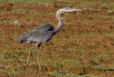 Prowling Heron by legster69, Photography->Birds gallery