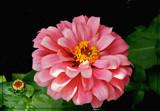 ZZZ Zinnia by trixxie17, photography->flowers gallery