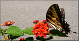 Butterflies Are Free #2 by tigger3, photography->butterflies gallery