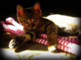 Bengal Kitten by June, photography->pets gallery