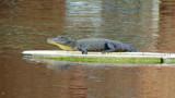 Snaps? by GomekFlorida, photography->reptiles/amphibians gallery