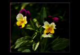 Calendar Pansies by tigger3, Photography->Flowers gallery
