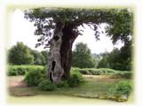 Hollow Oak by sanjaq, photography->landscape gallery