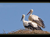 storks by kodo34, Photography->Birds gallery