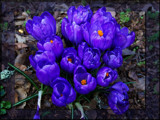 Crocus running late! by ironjoe, Photography->Flowers gallery