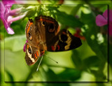 The Buckeye Butterfly by tigger3, photography->butterflies gallery