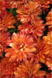 Falling In Line by Hottrockin, Photography->Flowers gallery