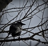 Crow by picardroe, photography->birds gallery
