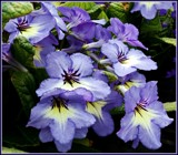 "Streptocarpus ""Kiegtsu"" by trixxie17, photography->flowers gallery"