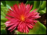 Aptenia Cordifolia by Galatea, Photography->Flowers gallery