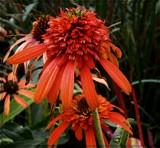 Orange Coneflowers by trixxie17, photography->flowers gallery