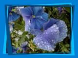 When I'm feeling blue... by fogz, Photography->Flowers gallery