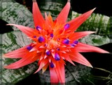 Star Bromeliad by trixxie17, photography->flowers gallery