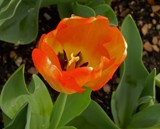 """Apricot Foxx"" Tulip by trixxie17, photography->flowers gallery"