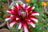 Beautiful Red Dahlia ! by indiana_gs, photography->flowers gallery