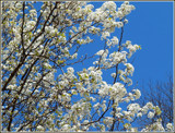 Blooming Crabtree by trixxie17, photography->flowers gallery
