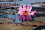 Water Lily Reflection by wheedance, photography->flowers gallery