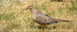 Mourning Dove by tigger3, photography->birds gallery