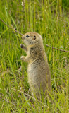 Richardson's Ground Squirrel by doughlas, photography->animals gallery