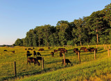 Cattle Grazing by sharonva, photography->landscape gallery