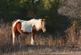 Wild Pony Of Assateague Island by Jimbobedsel, photography->animals gallery