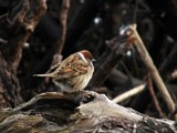 Sparrow by cyberkat, Photography->Birds gallery