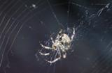 Deerfield Orb Weaver by Nikoneer, photography->insects/spiders gallery