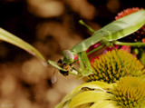 A Calendar Garden Mantid by tigger3, photography->insects/spiders gallery