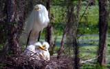 Nesting  35 by 100k_xle, Photography->Birds gallery
