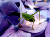 It's green, and it jumps... by rozem061, Photography->Insects/Spiders gallery