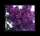 Amethyst Coloured Lilac ! by verenabloo, Photography->Flowers gallery