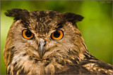 those eyes.. by wimgroen, Photography->Birds gallery