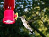 Hummingbird by rzettek, Photography->Birds gallery