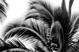 Palm Branches by LakeMichigan, contests->b/w challenge gallery