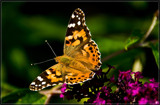 Almost Ready To Take Off by corngrowth, photography->butterflies gallery