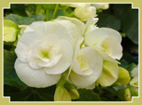 Reiger White Begonia by trixxie17, Photography->Flowers gallery