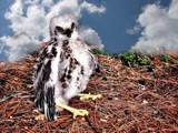 Little Hawk by snapshooter87, photography->manipulation gallery