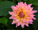 Dahlias are Everywhere by jeenie11, photography->flowers gallery