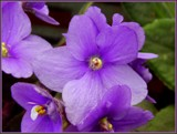 Violets are . . . by trixxie17, photography->flowers gallery