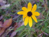 Black eyed Susan by WBOOTHBY, Photography->Flowers gallery